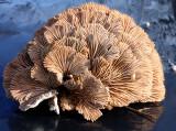Splitgill (Schizophyllum commune )