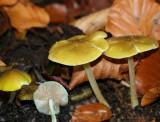 Pluteus chrysophaeus.(yellow shield )