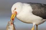 Lesser Black-backed Gull: bloody dining and bathing - UTC - Spring 2009