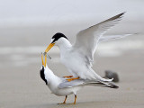"""Least Tern  - """"Trading sex for food"""""""