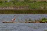 Greater Flamingo - Freeport, UTC - May 16, 2009