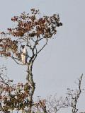 _MG_3935 Leucistic Red-tailed Hawk.jpg