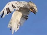 _MG_5722 Leucistic Red-tailed Hawk.jpg