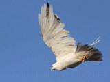 _MG_5726 Leucistic Red-tailed Hawk.jpg