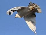 _MG_5727 Leucistic Red-tailed Hawk.jpg