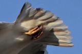 _MG_5727tail down  Leucistic Red-tailed Hawk.jpg