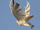 _MG_5808 Leucistic Red-tailed Hawk.jpg