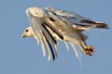 _MG_5809 Leucistic Red-tailed Hawk.jpg