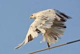 _MG_5810 Leucistic Red-tailed Hawk.jpg