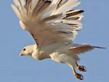 _MG_5811 Leucistic Red-tailed Hawk.jpg