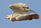 _MG_5812 Leucistic Red-tailed Hawk.jpg