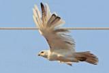 _MG_5814 Leucistic Red-tailed Hawk.jpg