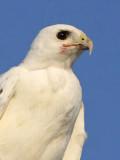 _MG_5870 Leucistic Red-tailed Hawk.jpg