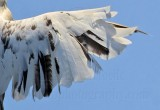 _MG_5892 right wing top Leucistic Red-tailed Hawk.jpg
