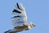 _MG_5893 Leucistic Red-tailed Hawk.jpg