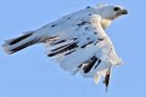 _MG_5896 Leucistic Red-tailed Hawk.jpg