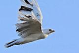 _MG_5897 Leucistic Red-tailed Hawk.jpg