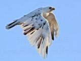 _MG_5899 Leucistic Red-tailed Hawk.jpg