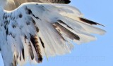 _MG_5899 right wing top Leucistic Red-tailed Hawk.jpg
