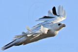 _MG_5900 Leucistic Red-tailed Hawk.jpg