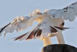 _MG_5915 Leucistic Red-tailed Hawk.jpg