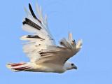 _MG_5918 Leucistic Red-tailed Hawk.jpg