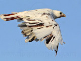 _MG_5927 Leucistic Red-tailed Hawk.jpg