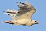 _MG_5929 Leucistic Red-tailed Hawk.jpg