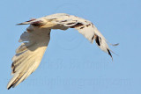 _MG_5941 Leucistic Red-tailed Hawk.jpg