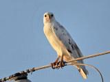 _MG_5953 Leucistic Red-tailed Hawk.jpg