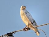 _MG_5961 Leucistic Red-tailed Hawk.jpg