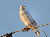 _MG_5962 Leucistic Red-tailed Hawk.jpg
