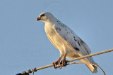 _MG_5967 Leucistic Red-tailed Hawk.jpg