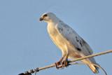 _MG_5970 Leucistic Red-tailed Hawk.jpg