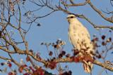 _MG_6000 Leucistic Red-tailed Hawk.jpg