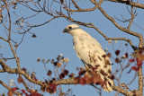 _MG_6005 Leucistic Red-tailed Hawk.jpg