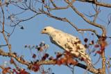 _MG_6011 Leucistic Red-tailed Hawk.jpg