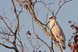_MG_6120 Leucistic Red-tailed Hawk.jpg