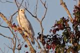 _MG_6138 Leucistic Red-tailed Hawk.jpg