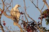 _MG_6148 Leucistic Red-tailed Hawk.jpg