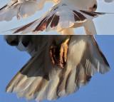 tail Leucistic Red-tailed Hawk.jpg