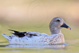 Silver Call Duck
