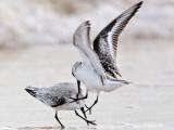 Sanderling Fight UTC