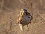 Red-tailed Hawk walking on the ground