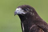 White-tailed Hawk - Juvenile - UTC