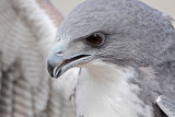 White-tailed Hawk - Portraits