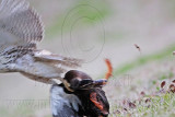 Red-tailed Hawk striking, drowning and eating the Mallard – January 1, 2010