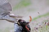 _MG_4519 Red-tailed Hawk taking Mallard.jpg