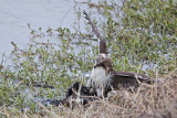 _MG_4604 Red-tailed Hawk taking Mallard.jpg