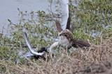 _MG_4606 Red-tailed Hawk taking Mallard.jpg